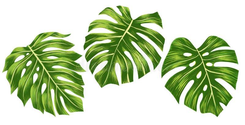 设置绿色在白色背景隔绝的monstera热带叶子,数字illustation 库存例证