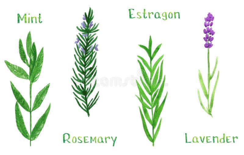 设置绿色草本,薄菏,龙蒿,迷迭香,淡紫色,水彩例证 皇族释放例证