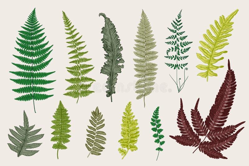 设置蕨 12片叶子 葡萄酒传染媒介植物的例证 皇族释放例证