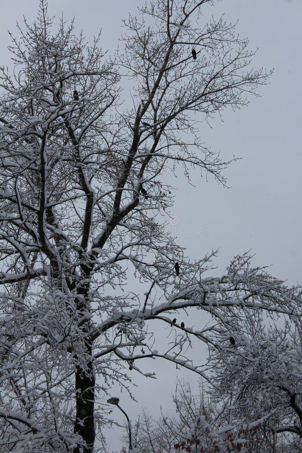 设计图象结构树冬天 一切用雪盖 在降雪以后 在树的鸟 免版税库存照片