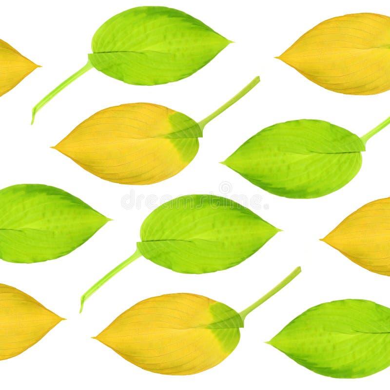 设计玉簪属植物叶子 免版税图库摄影