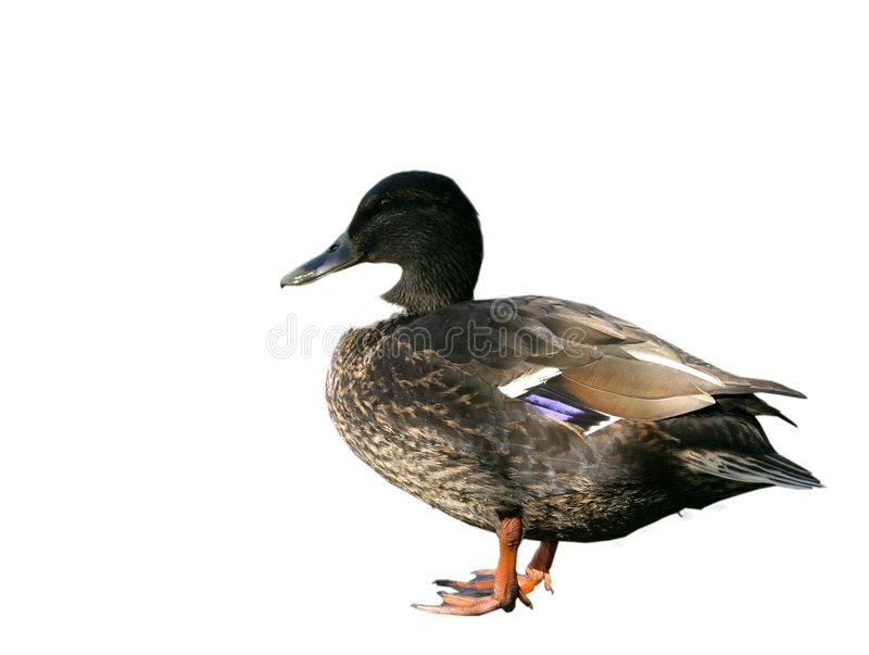 设计鸭子要素 免版税库存照片