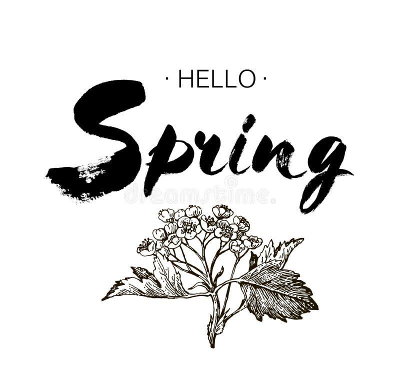 词组你好春天刷子在背景隔绝的笔字法 手写的例证 手图画元素设计hawt