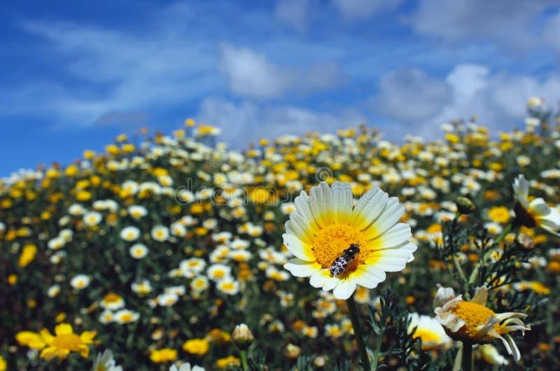 诗歌选雏菊或茼莴 免版税库存照片