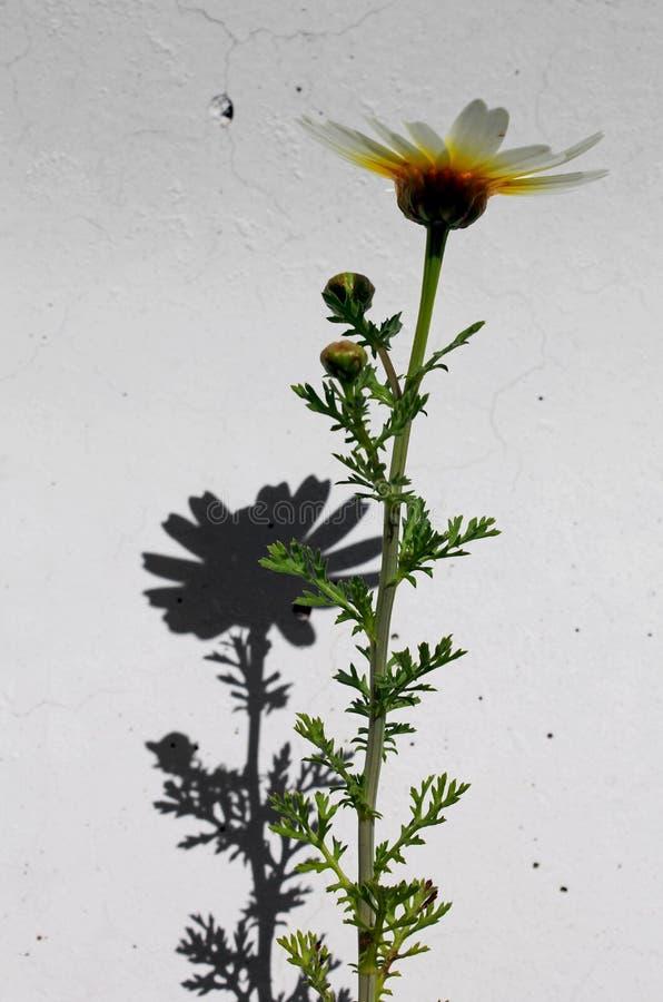 诗歌选雏菊或茼莴 免版税图库摄影