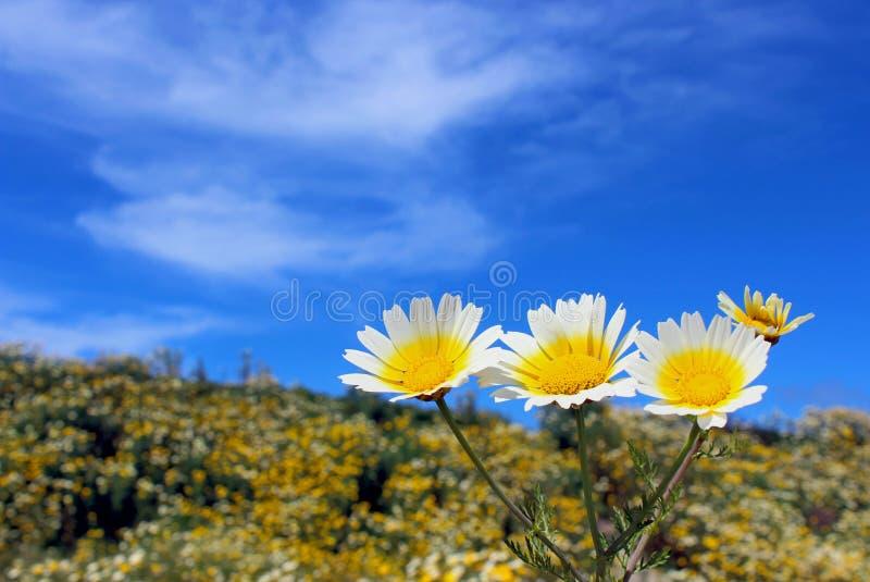 诗歌选雏菊或茼莴 库存图片