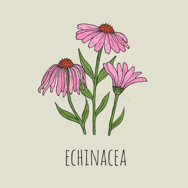 详细的植物的图画典雅桃红色海胆亚目花卉生长在绿色词根 美好的进展的植物手 库存例证