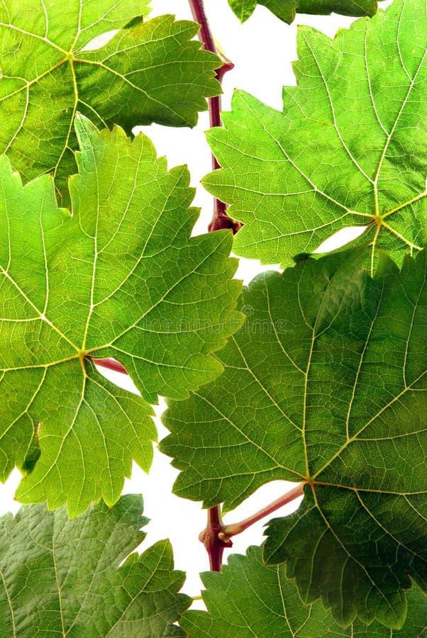 详细资料新鲜的葡萄树 免版税库存照片