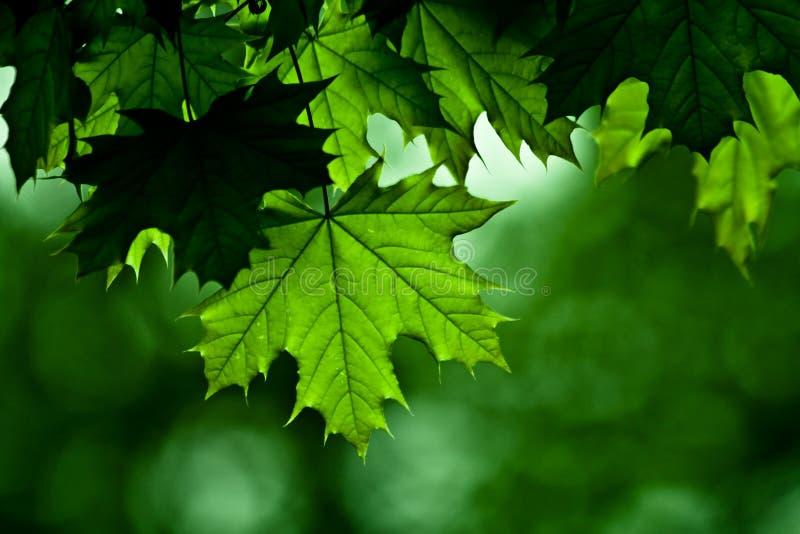 详细资料槭树 库存照片