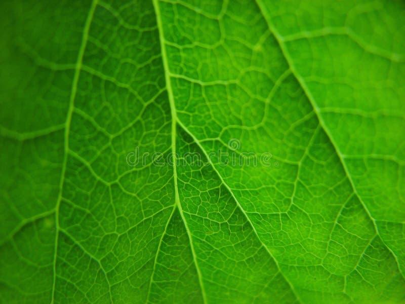 详细资料绿色叶子 免版税库存图片