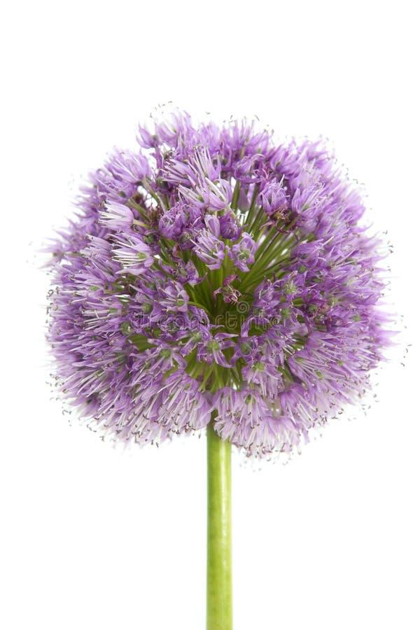 详细资料花宏观葱紫色白色 库存照片