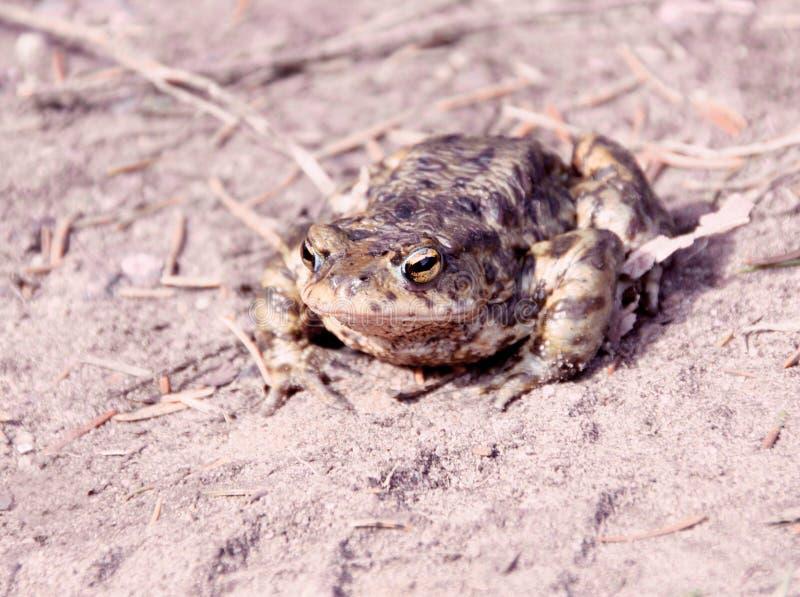 详细青蛙画象  免版税库存图片