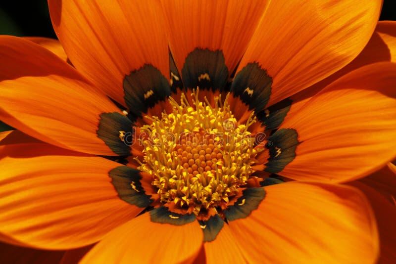 详述杂色菊属植物杂种 免版税库存照片