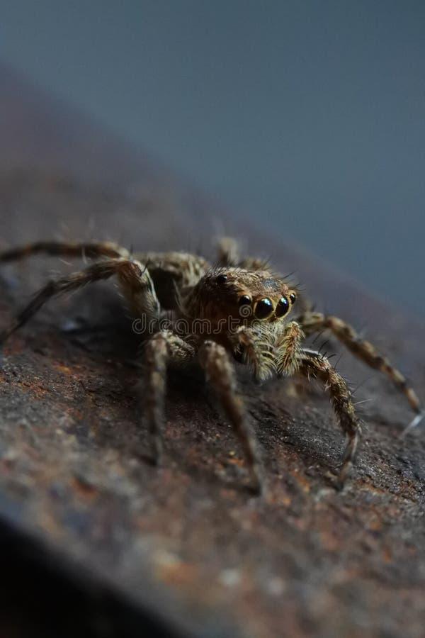 详述的超级宏观照片蜘蛛跳跃 库存图片