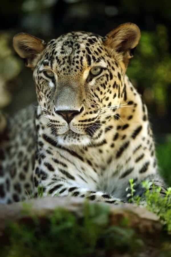 详述野生猫捷豹汽车,哥斯达黎加画象  免版税库存图片