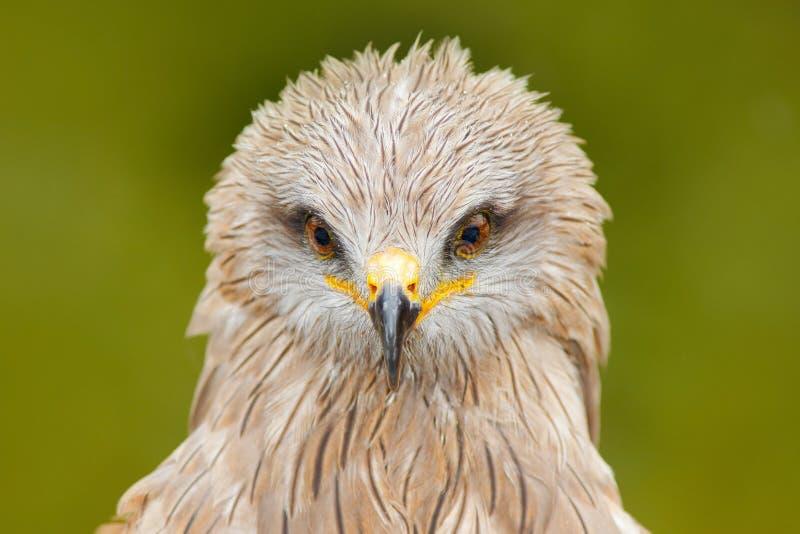 特写镜头画象有绿色背景 黑鸢, milvus migrans,棕色鸷坐的落叶松属树图片