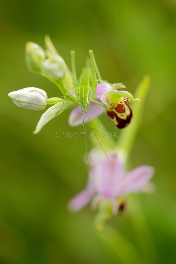 详述绿色昆虫蚂蚱画象,坐美丽的野花蜂兰花,男性Karpaty,捷克共和国 库存照片