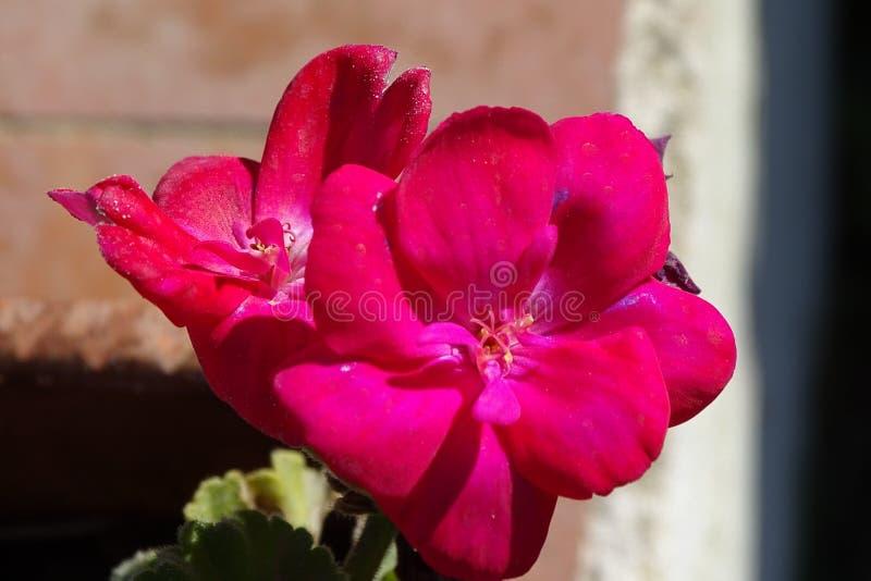 详细桃红色花在罐 库存图片