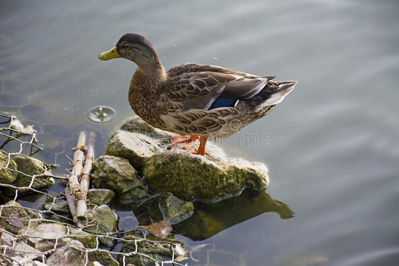 语录Platirhinchos野鸭在水浮动 狂放的辗压 Krizhen 免版税图库摄影