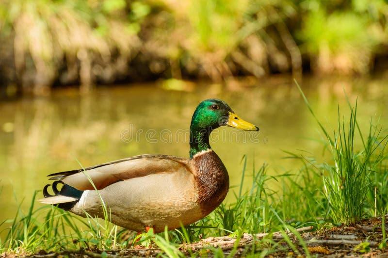 语录platyrhynchos,在一自然环境的野鸭鸭子在水的银行 库存图片