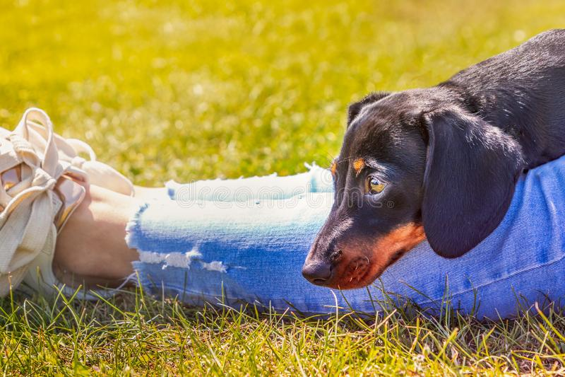 说谎与他的在一个夫人的腿的头的逗人喜爱的黑和棕褐色的微型达克斯猎犬小狗有浅兰的磨损的播种的牛仔裤的 图库摄影