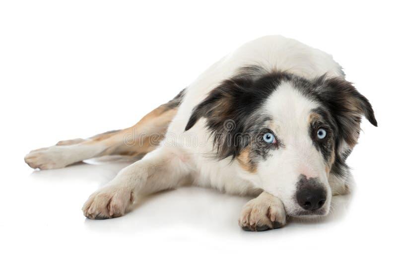 说谎与他的在您的爪子的头的成人博德牧羊犬狗 库存图片