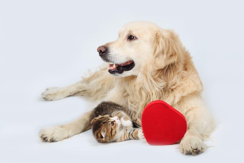 说谎与在灰色背景的红色心脏的金毛猎犬和一只小小猫 库存图片