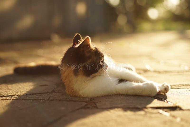 说谎在一块狂放的石头的地板上的三色猫在春天日落 库存图片