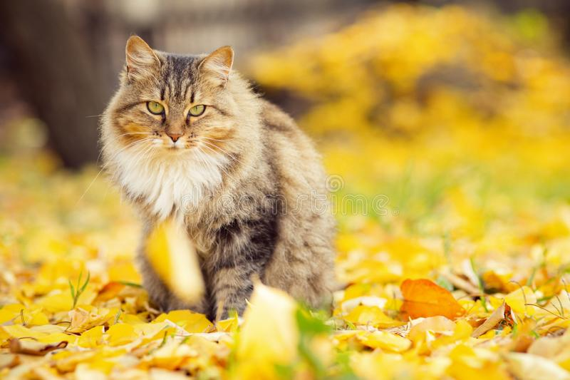 说谎在下落的黄色叶子的一只蓬松西伯利亚猫的画象,走在自然的宠物在秋天 库存照片