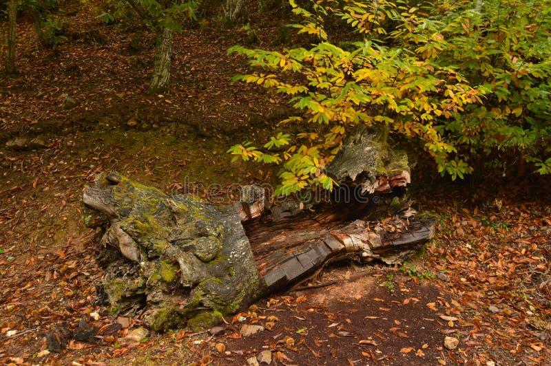 说谎在与在Medulas的一阴天给很多恐惧的形状的地面上的干燥栗树 万圣节,自然,特拉 免版税库存照片
