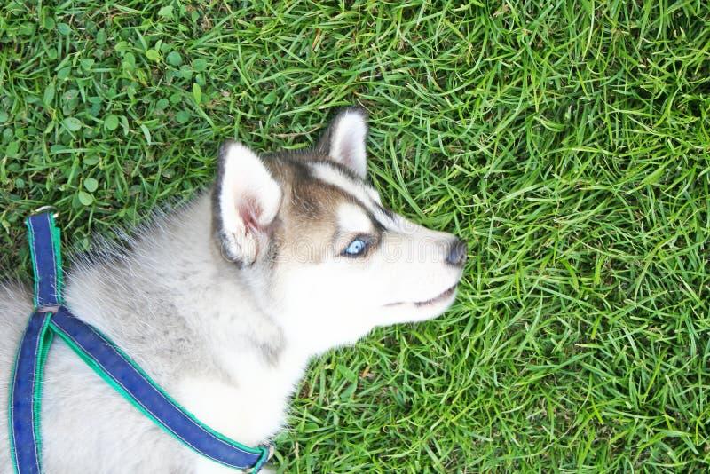 说谎在与愉快的面孔,愉快的狗的草的西伯利亚爱斯基摩人 免版税图库摄影