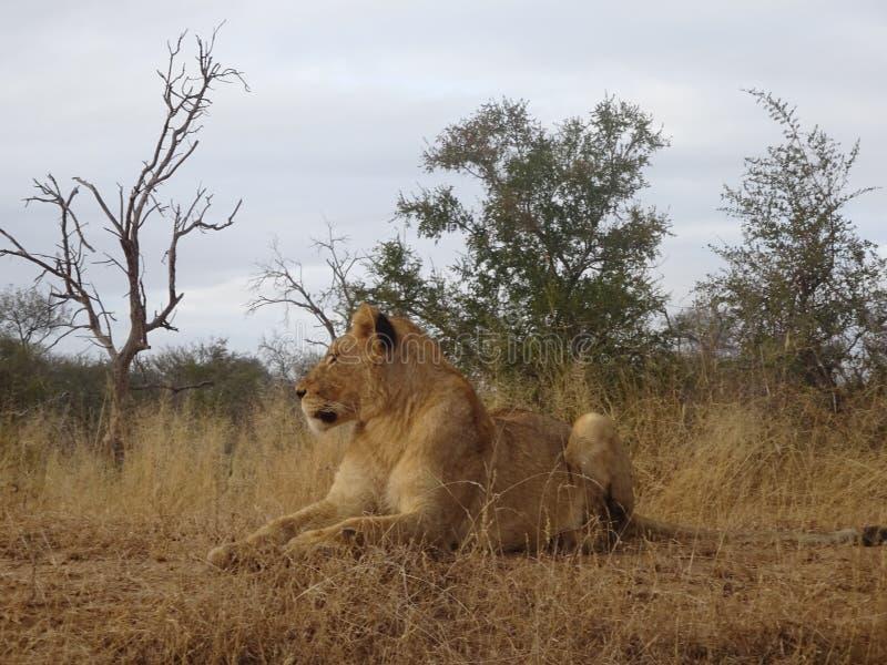 说谎在克留格尔国家公园大草原的成人狮子女性在南非 免版税库存照片