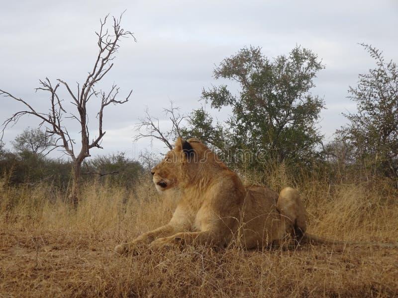 说谎在克留格尔国家公园大草原的成人狮子女性在南非 图库摄影