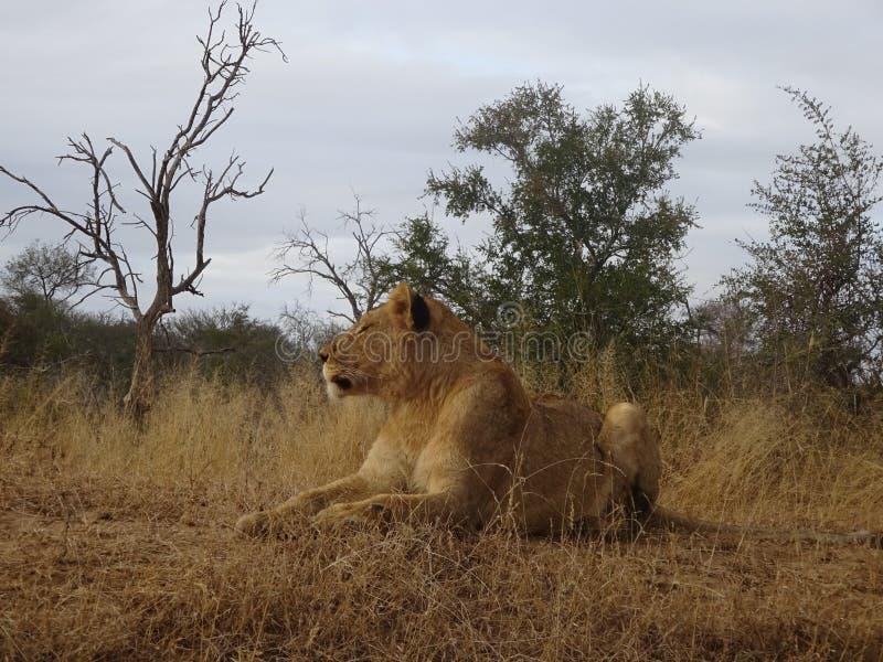 说谎在克留格尔国家公园大草原的成人狮子女性在南非 免版税库存图片