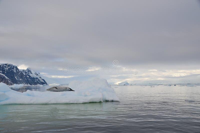 说谎在冰山的封印 免版税库存图片