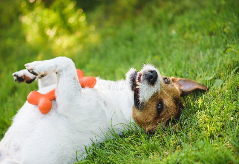 说谎在后面的逗人喜爱,滑稽和愉快的狗在有玩具的绿草草坪在爪子 免版税库存照片