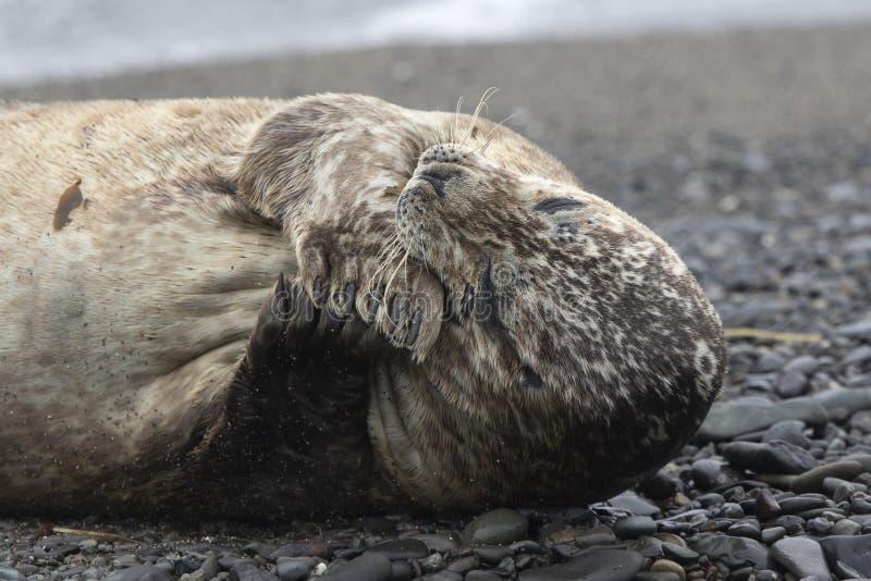 说谎在咬它的前面鸭脚板的沙滩的斑海豹 免版税库存图片