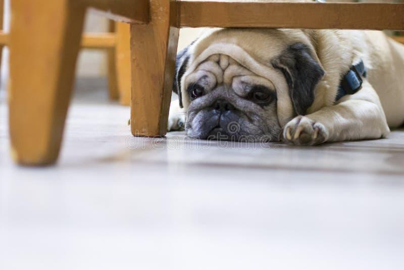 说谎在地板上的哀伤的哈巴狗 狗是哀伤的,看起来疲倦的躺下在椅子后 免版税图库摄影