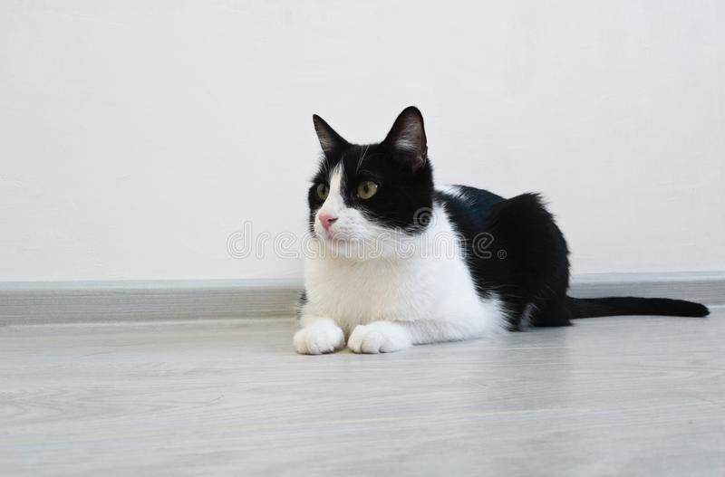 说谎在地板上的幼小美丽的逗人喜爱的猫在一间明亮的屋子 好奇地看对框架的左边,观看某事 免版税库存照片