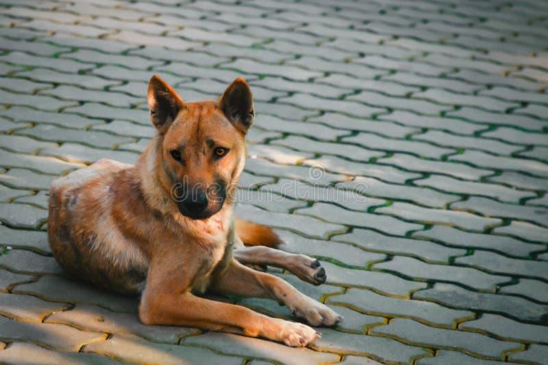 说谎在地板上的流浪狗 库存照片