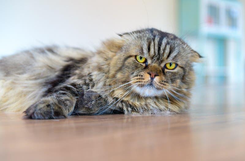 说谎在地板上的逗人喜爱的棕色苏格兰折叠猫 免版税库存照片