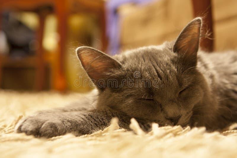说谎在地毯的灰色猫 免版税库存照片