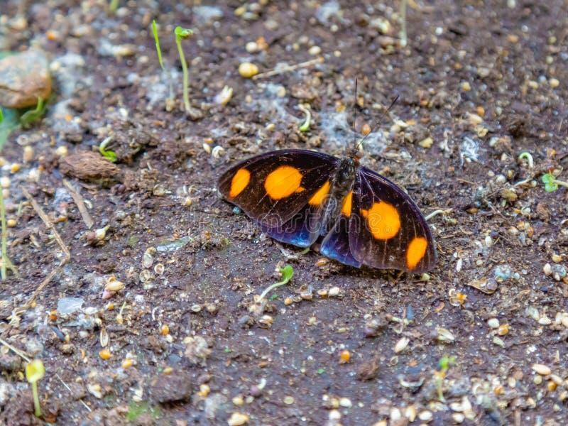 说谎在地面上的希腊鞋匠蝴蝶 库存图片