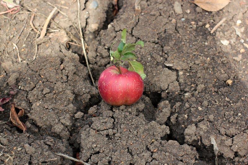 说谎在地面上的红色成熟苹果计算机崩裂了 库存图片