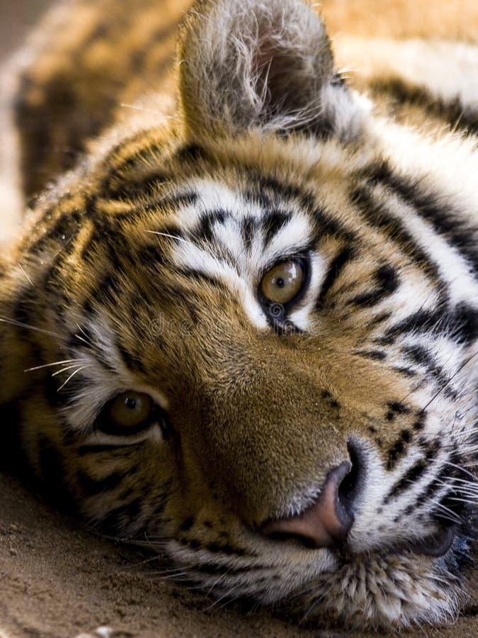 说谎在地面上的老虎面对照相机 免版税库存图片