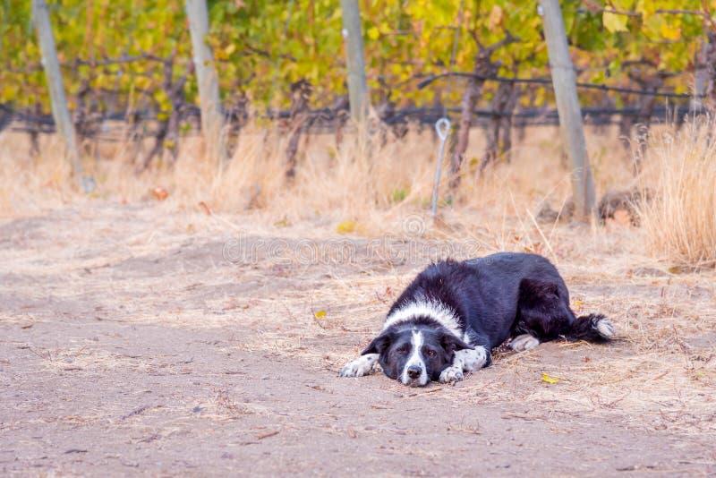 说谎在地面的嬉戏的黑白博德牧羊犬 库存照片