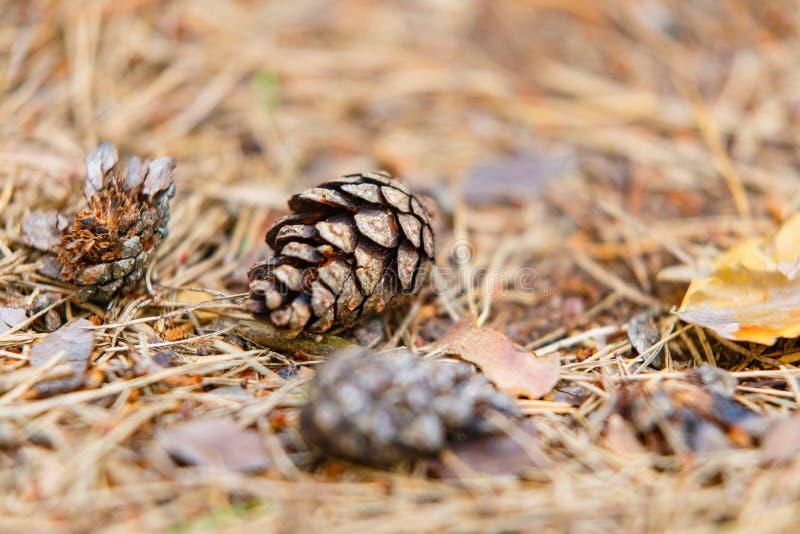 说谎在地面的杉木锥体 图库摄影