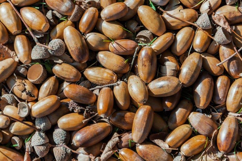 说谎在地面-季节性秋天背景上的橡子 免版税库存图片