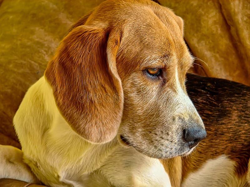 说谎在坐垫的小猎犬小狗画象 免版税库存照片
