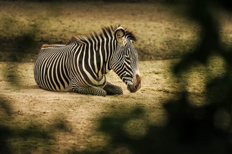 说谎在大草原的地面的斑马 库存照片